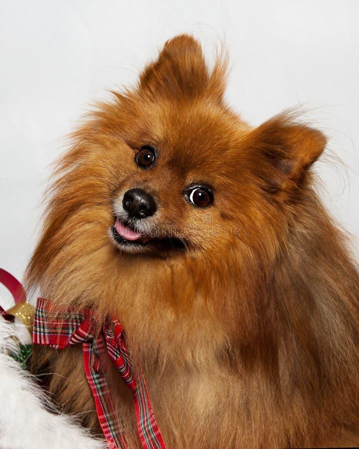 Perro rojo sonriente adorable de Pomeranian fotografía de archivo