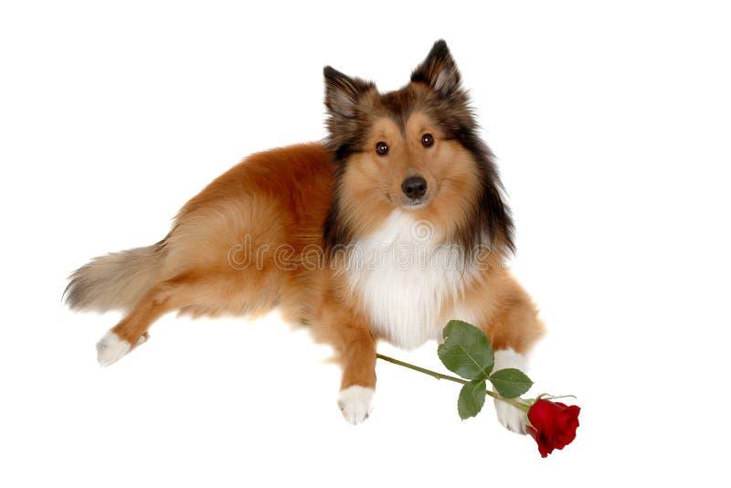 Perro romántico 2 foto de archivo libre de regalías