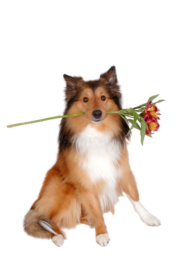 Perro romántico 3 imagen de archivo libre de regalías