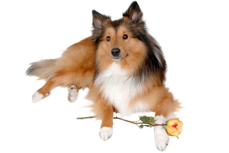 Perro romántico 5 imagen de archivo libre de regalías