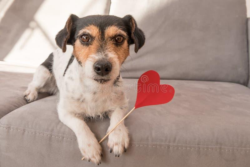 Perro romántico de Jack Russell Terrier El perro adorable está llevando a cabo un corazón al día de tarjeta del día de San Valent foto de archivo libre de regalías