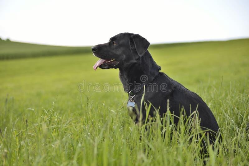 Perro rumano del shepard del cuervo en campo verde imagen de archivo