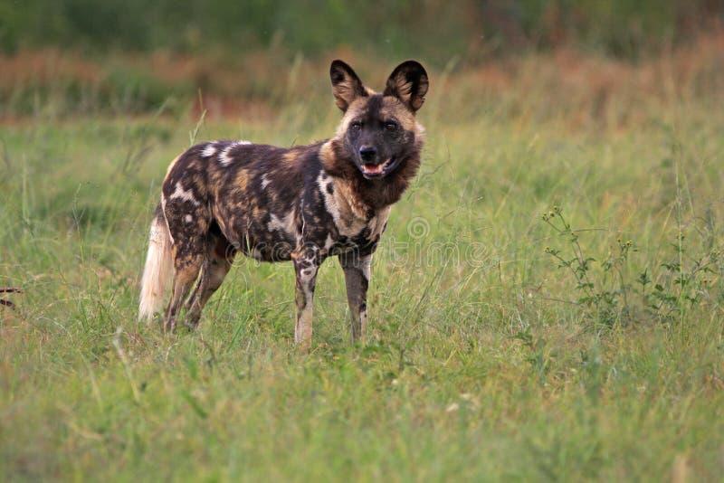 Perro salvaje africano imagen de archivo