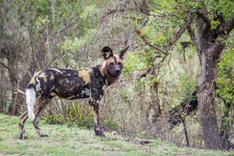 Perro salvaje africano en el parque nacional de Kruger, Suráfrica fotografía de archivo libre de regalías