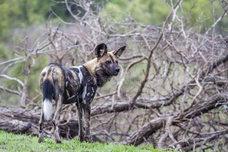 Perro salvaje africano en el parque nacional de Kruger, Suráfrica imágenes de archivo libres de regalías