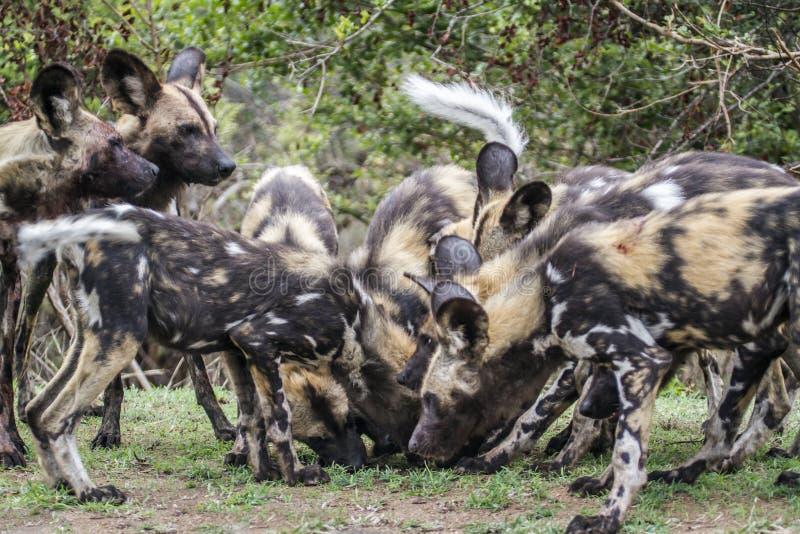 Perro salvaje africano en el parque nacional de Kruger, Suráfrica foto de archivo libre de regalías