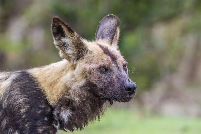 Perro salvaje africano en el parque nacional de Kruger, Suráfrica foto de archivo