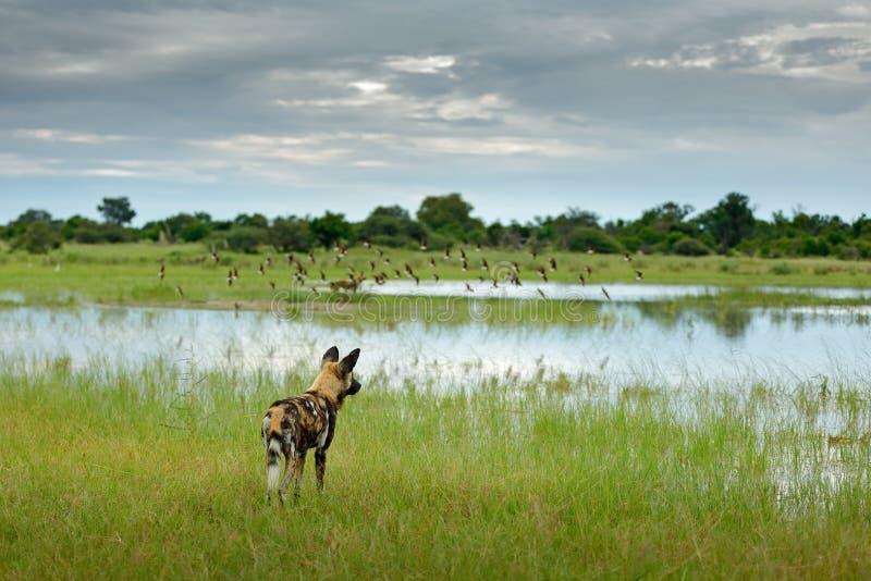 Perro salvaje africano, pictus de Lycaon, caminando en agua del lago Búsqueda del perro pintado con los oídos grandes, anilm salv fotos de archivo