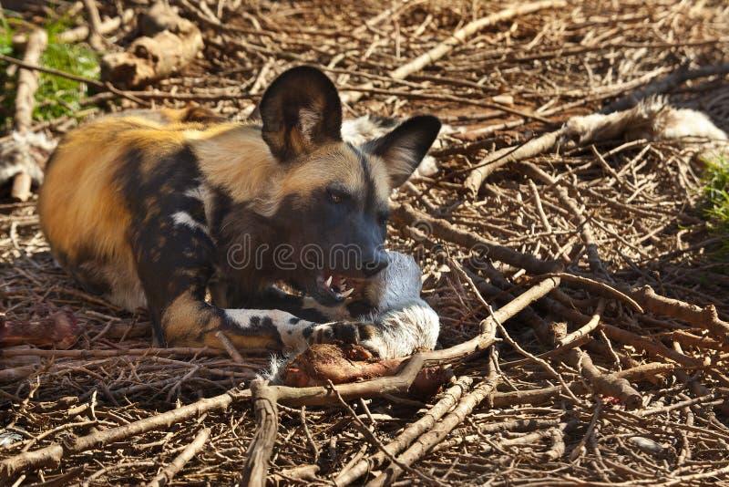 Perro salvaje africano - Savuti - Botswana fotos de archivo libres de regalías