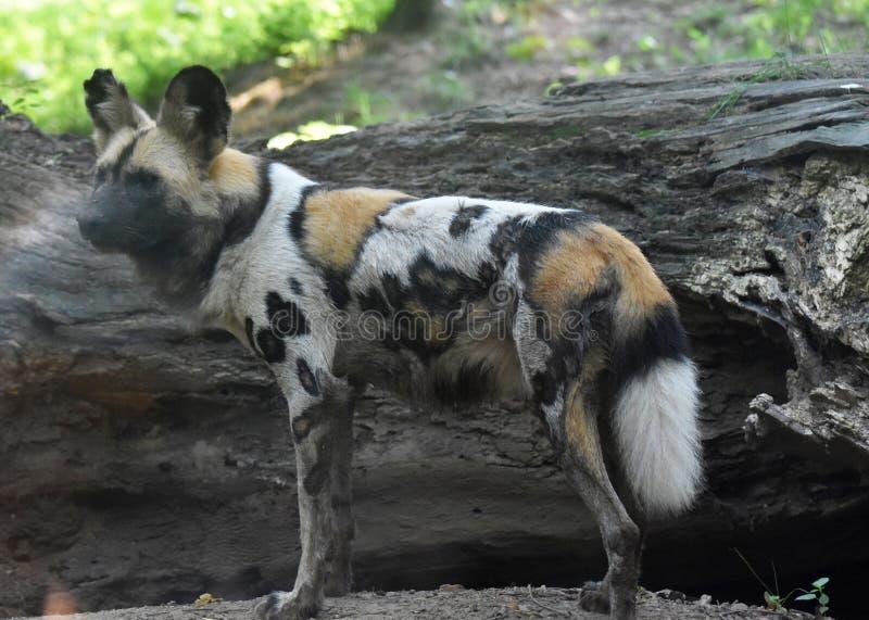 Perro salvaje del cazador de África con una capa manchada fotografía de archivo