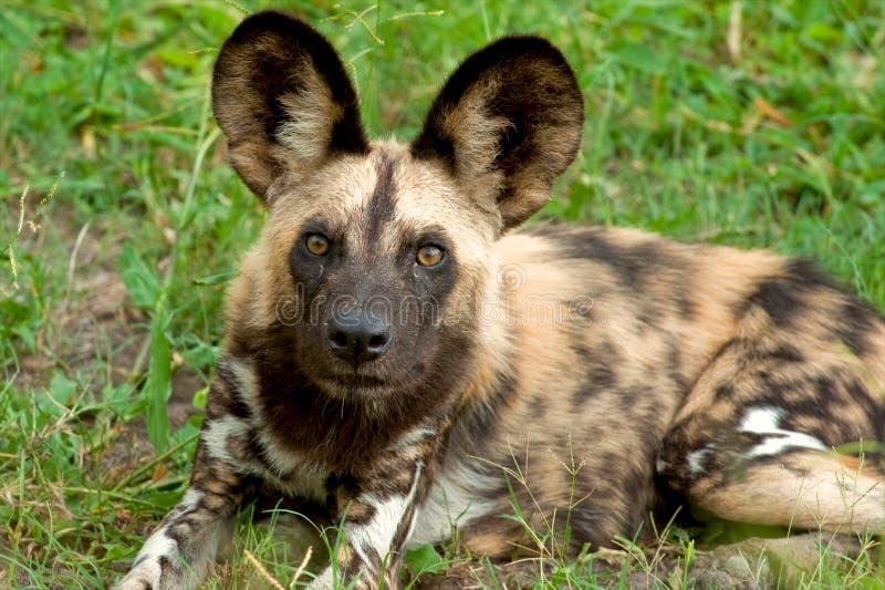 Perro salvaje en el parque nacional de Tanzania imagenes de archivo