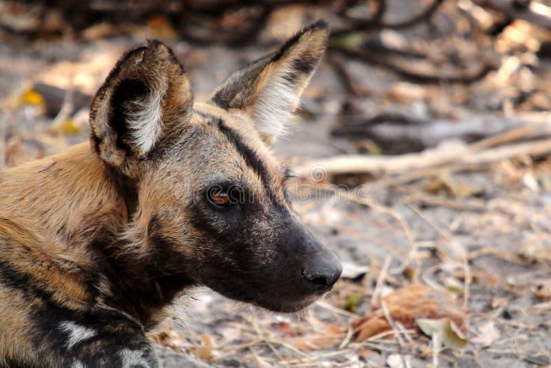 Perro salvaje en el parque nacional de Tanzania fotografía de archivo