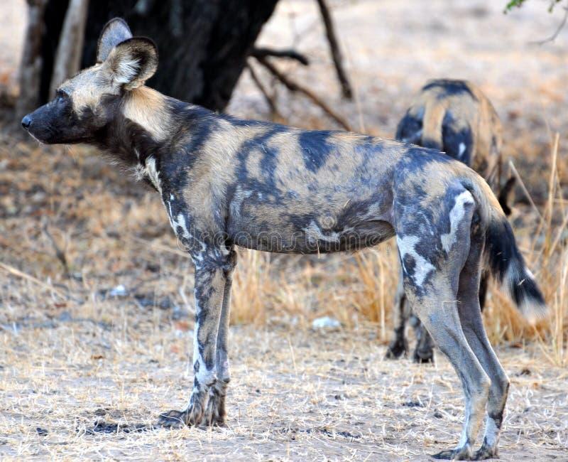 Perro salvaje en el parque nacional de Tanzania fotos de archivo