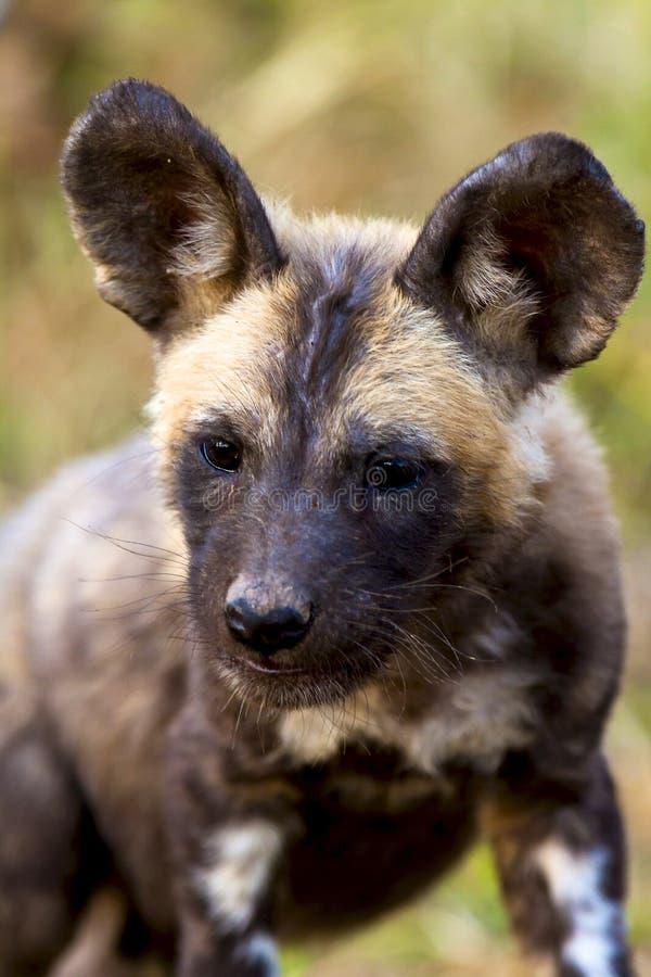 Perro salvaje en el parque nacional de Tanzania fotos de archivo libres de regalías