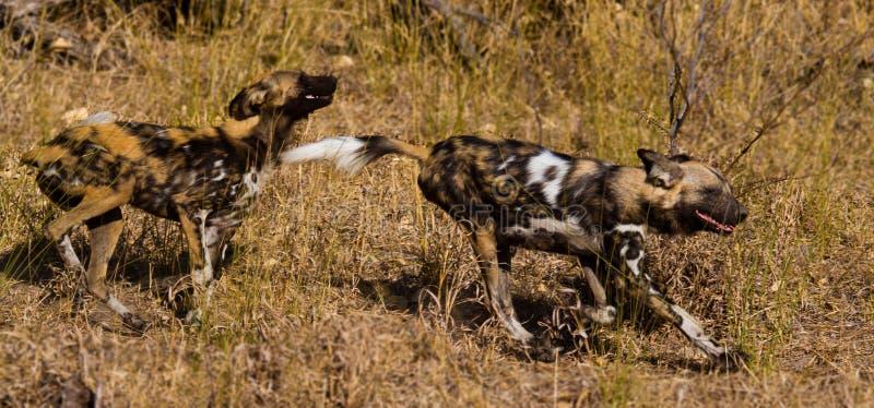 Perro salvaje en el parque nacional de Tanzania imagen de archivo