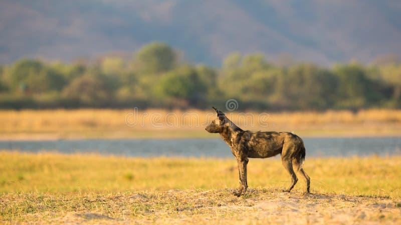 Perro salvaje por el río Zambezi fotos de archivo