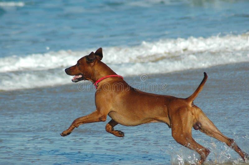 Perro sano de la playa fotos de archivo