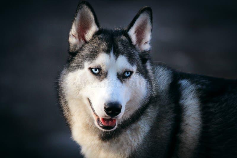 Perro siberiano hermoso imagenes de archivo