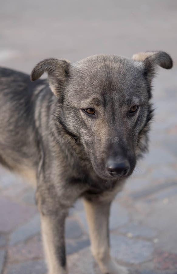 Perro sin hogar Perro perdido hambriento Perro que consiguió perdido fotografía de archivo libre de regalías