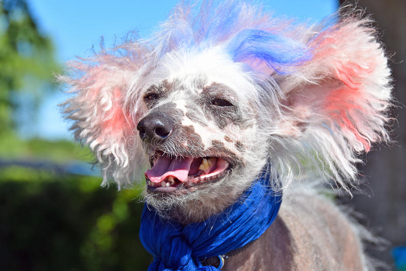 Perro sin pelo con cresta chino patriótico fotos de archivo libres de regalías