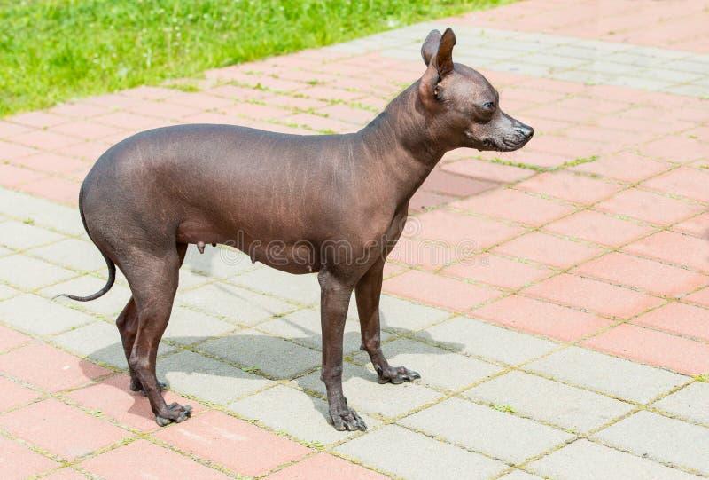 Perro sin pelo de Xoloitzcuintli imagenes de archivo