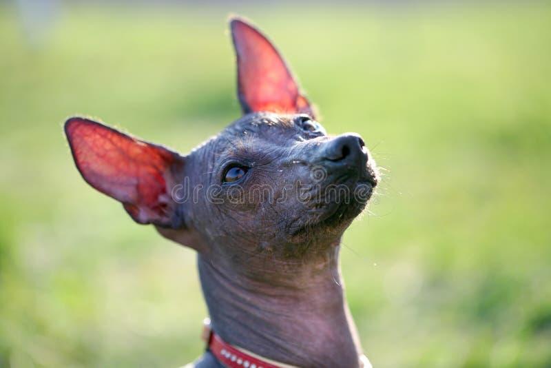 Perro sin pelo mexicano imágenes de archivo libres de regalías
