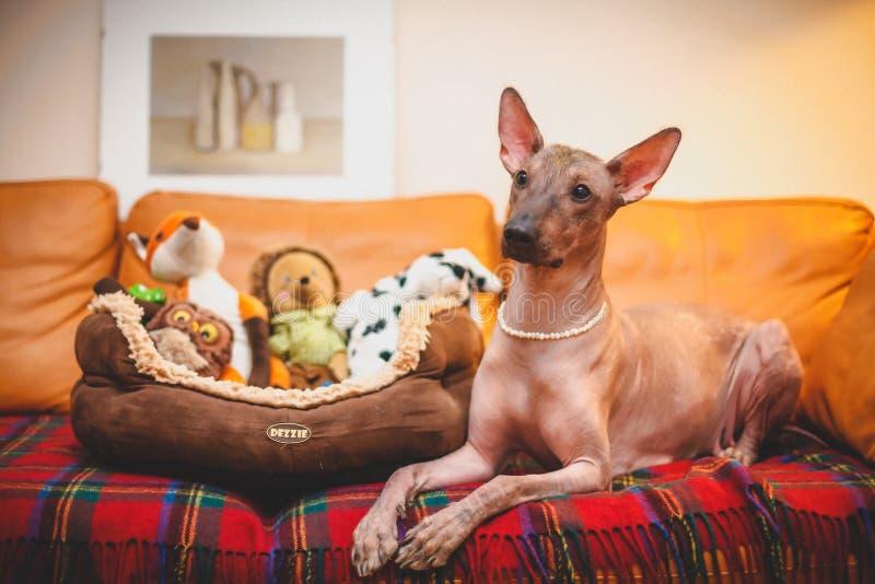 Perro sin pelo mexicano fotos de archivo libres de regalías
