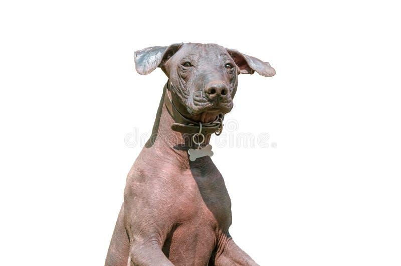 Perro sin pelo mexicano de Xoloitzcuintle aislado en blanco imagen de archivo
