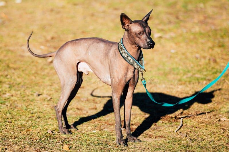 Perro sin pelo mexicano Xoloitzcuintli o Xolo imagen de archivo