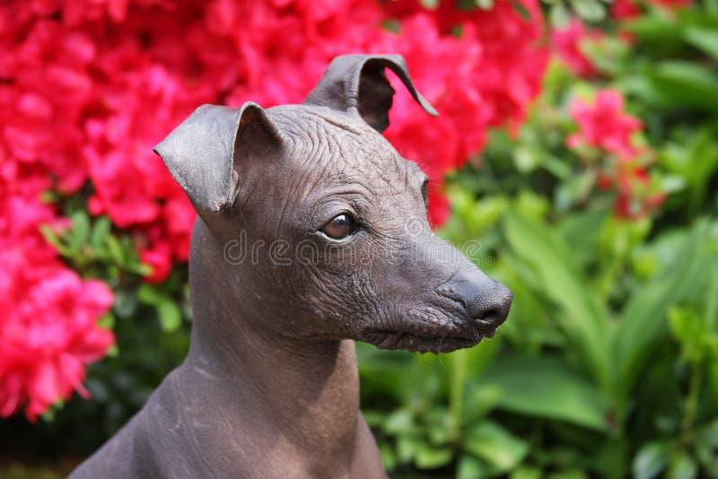 Perro sin pelo peruano foto de archivo libre de regalías