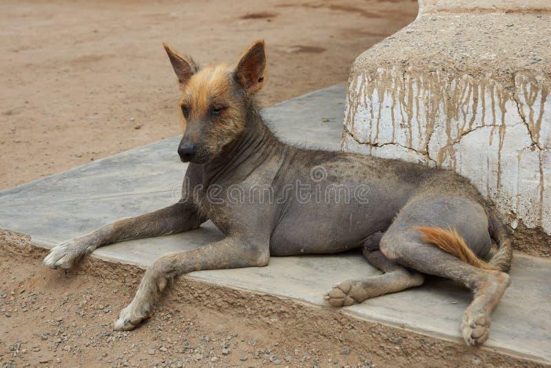 Perro sin pelo peruano foto de archivo