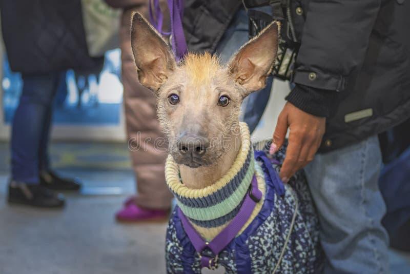 Perro sin pelo Xoloitzcuintle en la calle del invierno Perro mexicano desnudo Xoloitzcuintle en ropa caliente de los guardapolvos fotografía de archivo libre de regalías