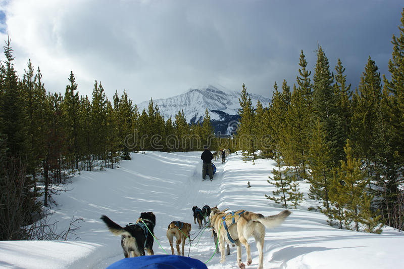 Perro sledding en Montana imagen de archivo