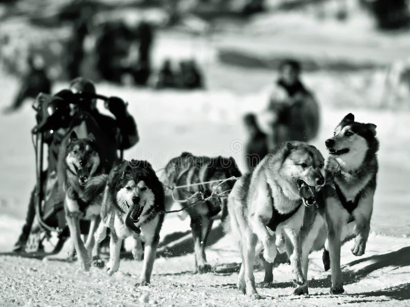Perro sledging en invierno imagen de archivo libre de regalías
