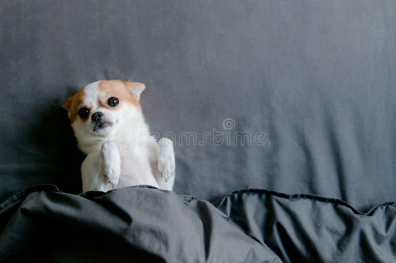 Perro soñoliento de la chihuahua que miente con el torneado de la manta inferior cara arriba fotografía de archivo