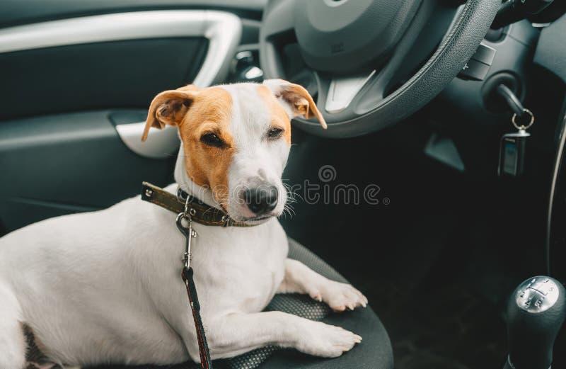 Perro soñoliento que miente en un asiento de carro y un dueño que espera imagenes de archivo