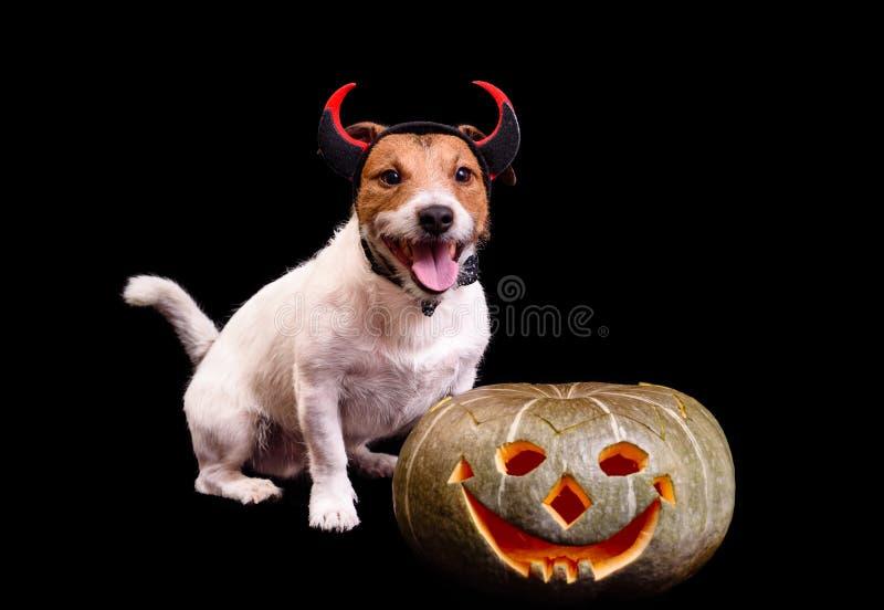Perro sonriente feliz con los cuernos del diablo y la calabaza de Halloween fotos de archivo