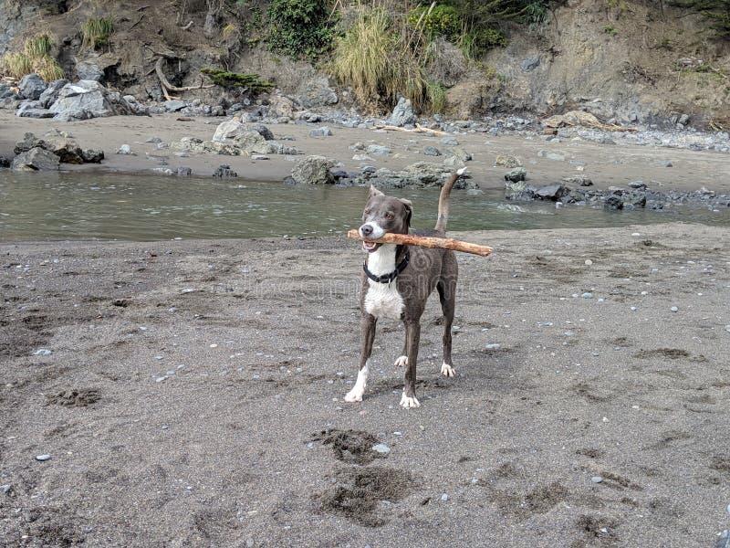 Perro sonriente feliz lindo con el palillo en boca en la playa lista para jugar imágenes de archivo libres de regalías