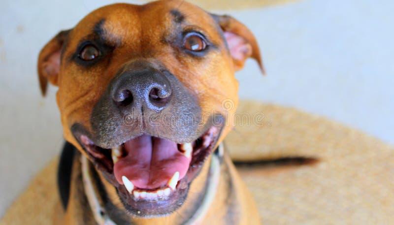 Perro sonriente foto de archivo libre de regalías