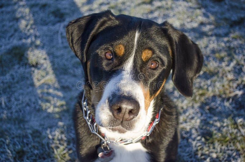 Perro suizo de la montaña fotos de archivo