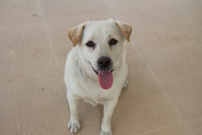 Perro tailandés blanco sonriente foto de archivo