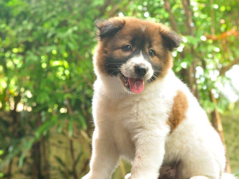 Perro tailandés de Bangkaew, perrito de Bangkaew fotografía de archivo