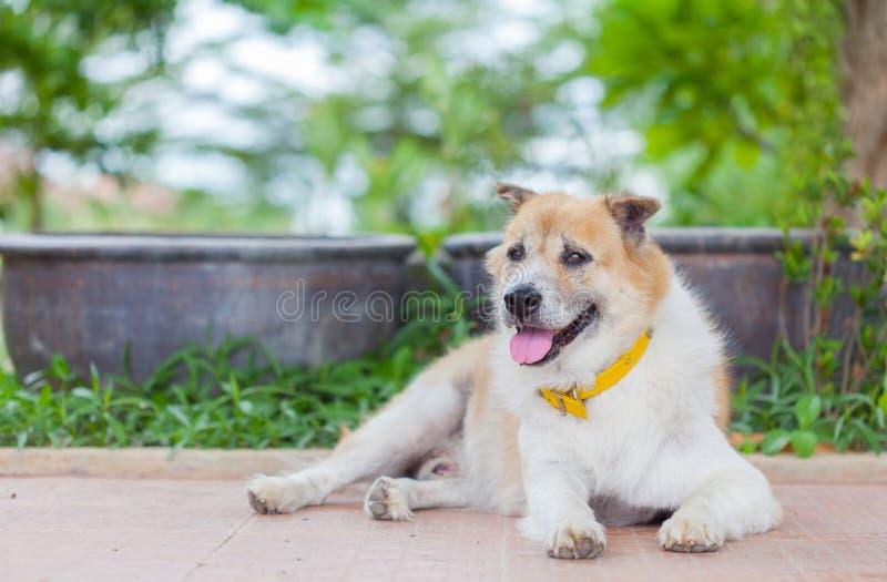 Perro tailandés viejo imagen de archivo