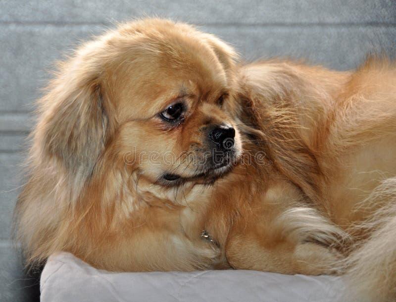 Perro tibetano del perro de aguas fotos de archivo