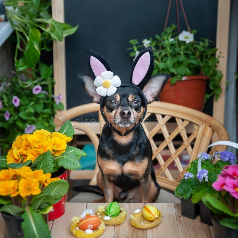Perro vestido como un conejito de pascua en un sombrero y una bufanda rodeados por las flores, el tema de la primavera y Pascua fotos de archivo