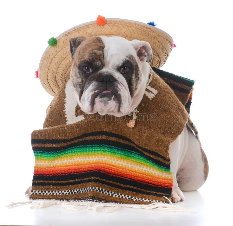 perro vestido como un mexicano fotografía de archivo libre de regalías