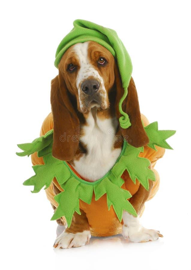 Perro vestido para arriba para víspera de Todos los Santos foto de archivo libre de regalías