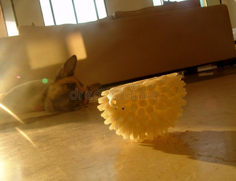 Perro viejo cansado, poniendo en el piso, dentro, protagonizando en un juguete blanco del animal doméstico de goma, en la mediado imagen de archivo libre de regalías