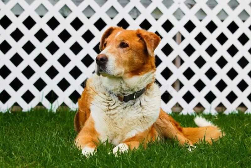 Perro viejo de la granja que se sienta en hierba con un fondo blanco del enrejado imagen de archivo libre de regalías