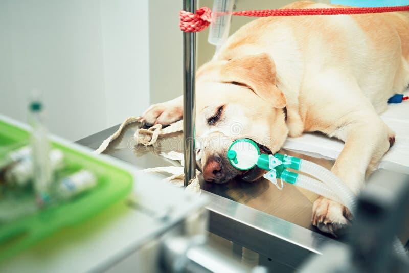Perro viejo en hospital veterinario foto de archivo libre de regalías